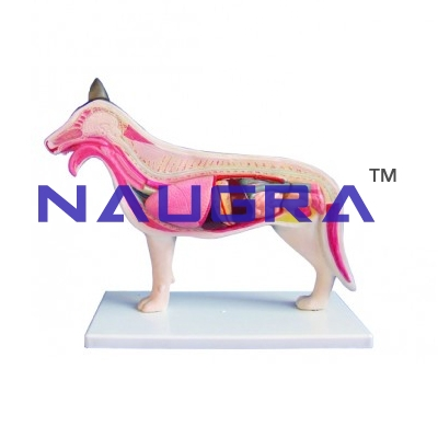 Dog Anatomy Model for Biology Lab