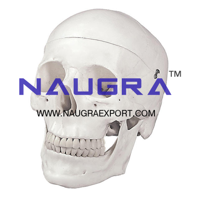 Human Skull Artificial Economy for Biology Lab
