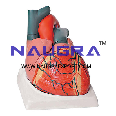 Human heart 7 parts human heart 7 parts anatomy model biology human heart 7 parts anatomy model for biology lab ccuart Image collections