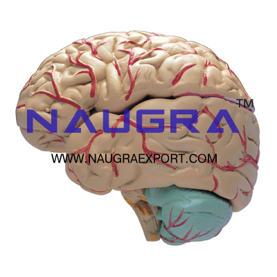 Human Brain with Arteries 9 Parts  Anatomy Model for Biology Lab