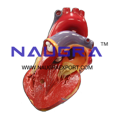 Human Heart, 3 Parts Anatomy Model for Biology Lab