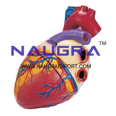 Human Heart 3 Times Life Size Anatomy Model for Biology Lab