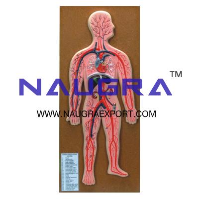 Human Circulatory System Anatomy Model for Biology Lab