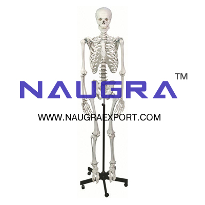 human skeleton on stand, biology laboratory instruments and, Skeleton
