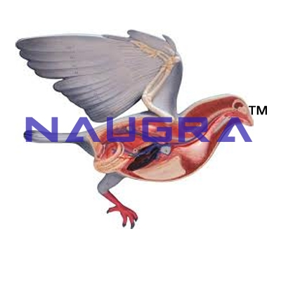 Pigeon Dissection Bird Anatomy Zoology Model for Biology Lab