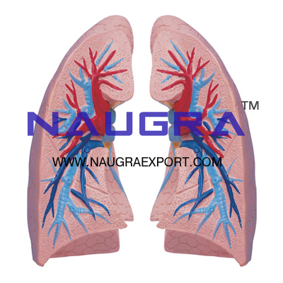 Human Lungs Anatomy Model for Biology Lab