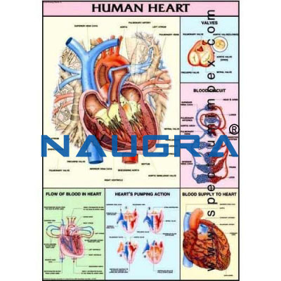 Human Physiology Anatomy Charts - Size 75 X 100 Cms for Educational Lab