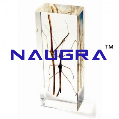 Real Life Science Specimens, Stick Insect for Biology Lab, Biology Lab Exporters