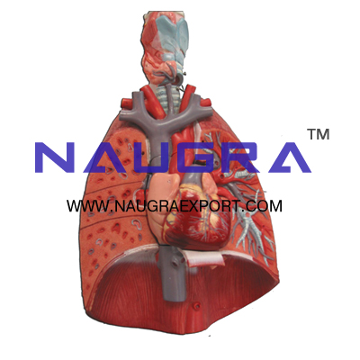 Human Lung with Larynx and Heart Anatomy Model for Biology Lab