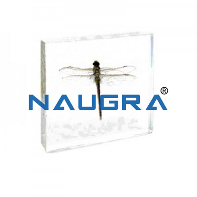 Real Life Science Specimens, Dragonfly for Biology Lab