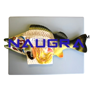 Perch Fish Dissection Zoology Model for Biology Lab