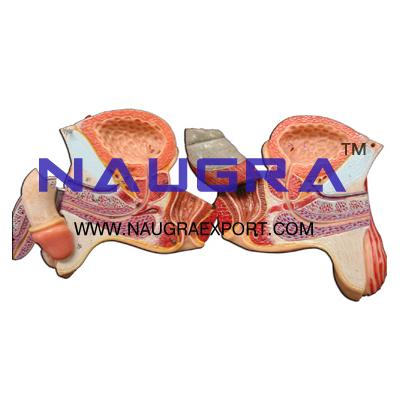 Human Male Genital Organs Anatomy Model for Biology Lab